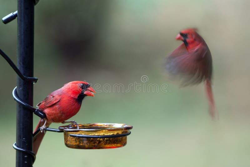 Północny kardynał - Cardinalis kardynały fotografia stock