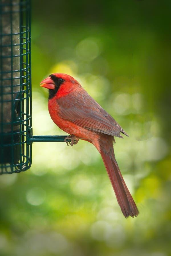 Północny kardynał lub kardynał redbird lub błonia - Cardinalis cardinalis obrazy stock