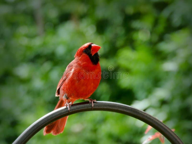 Północny kardynał lub kardynał redbird lub błonia - Cardinalis cardinalis fotografia royalty free