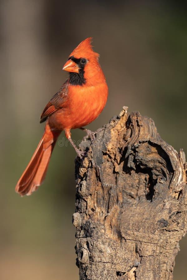 Północny kardynał siedzi na kłębie fotografia stock