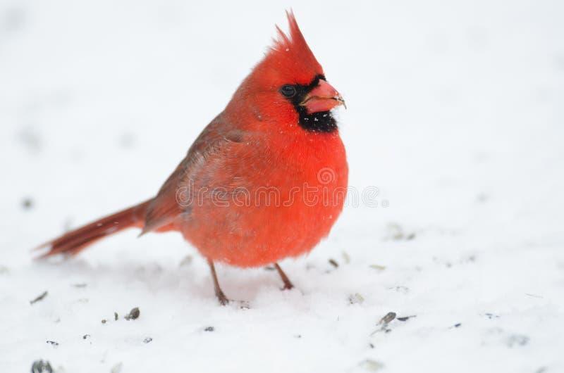 Północny kardynał umieszczający na gałąź zdjęcia royalty free