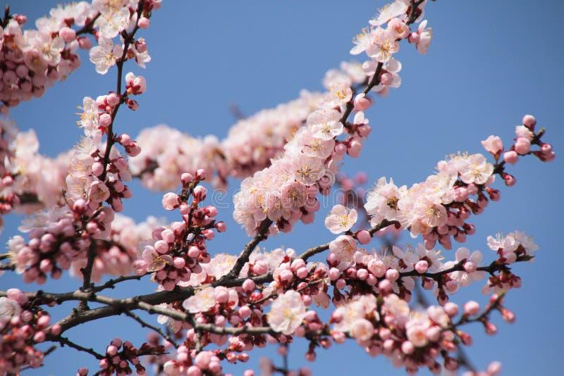 Północny Korea okwitnięcie - wiosna - fotografia royalty free