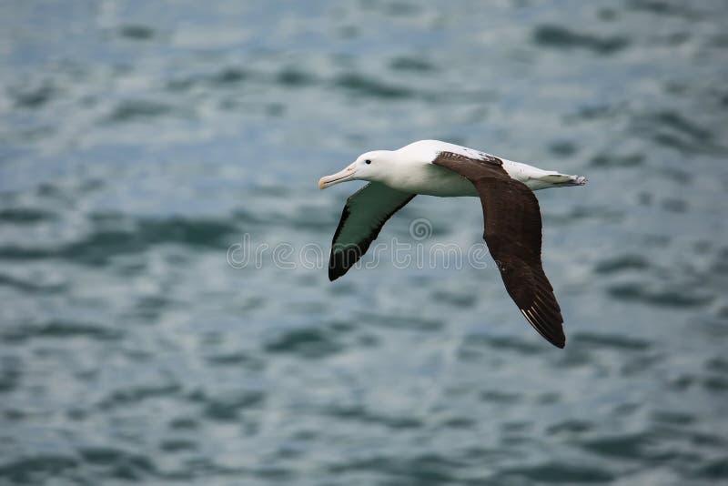 Północny królewski albatros w locie, Taiaroa głowa, Otago półwysep, Nowa Zelandia obraz royalty free