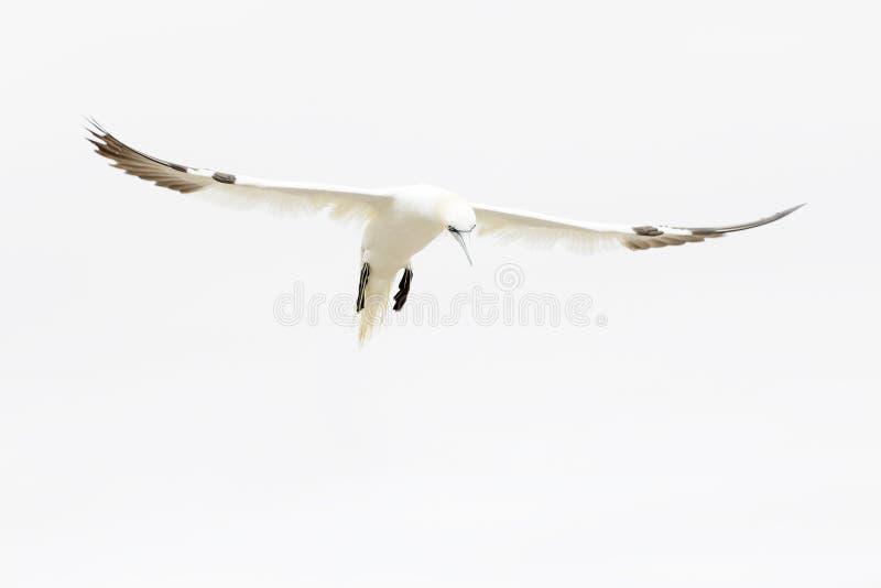północny lota gannet obraz stock