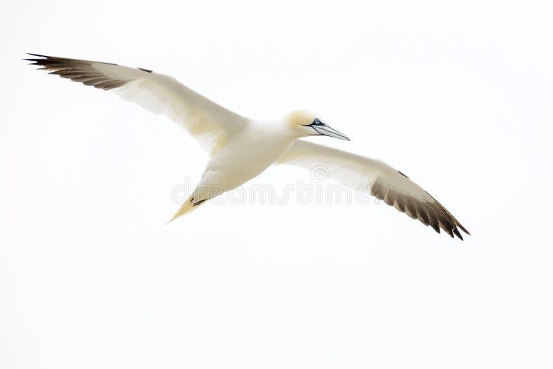 północny lota gannet zdjęcia stock
