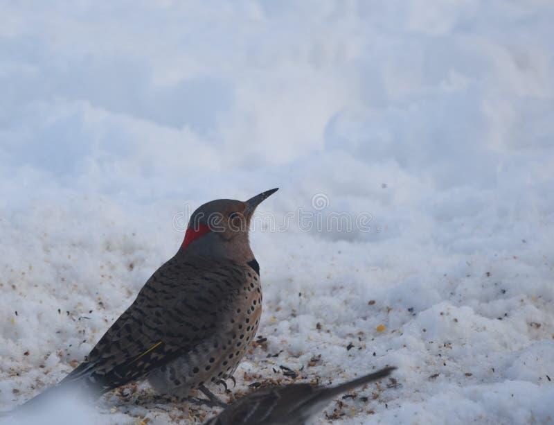 Północny migotanie dzięcioł w śniegu obraz stock