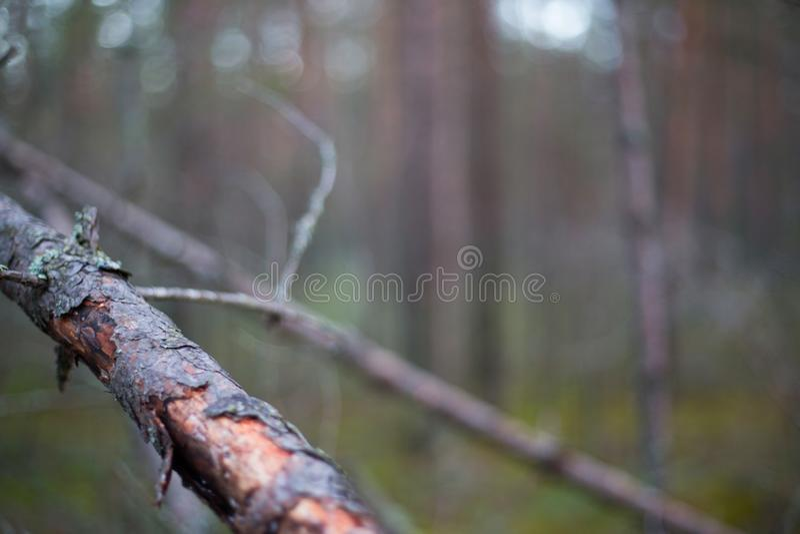 Północny sosnowy las zdjęcia stock