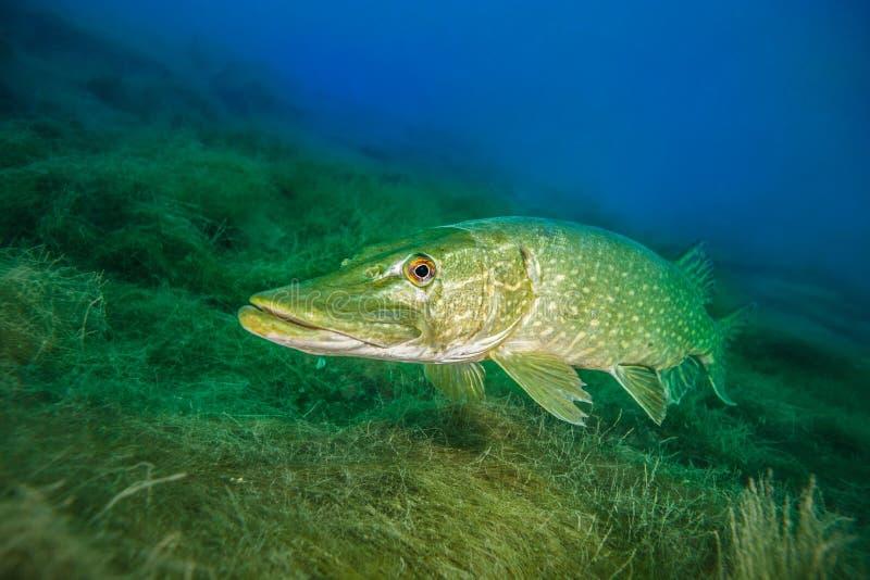 Północny szczupak, pospolita słodkowodna ryba w Niemcy zdjęcie royalty free