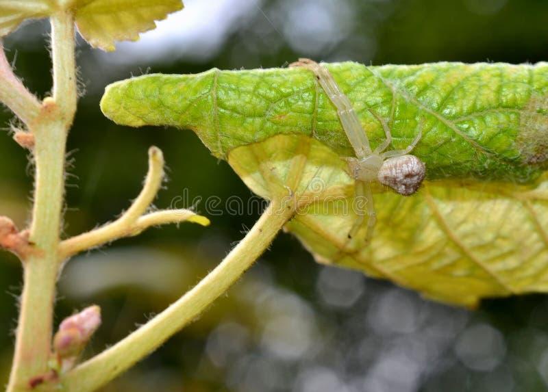 Półprzezroczysty ogrodowy pająk obraz royalty free