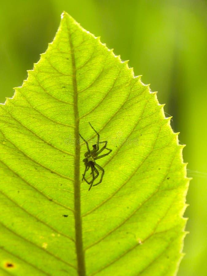 Półprzezroczysty pająk widzieć przez liścia obraz royalty free