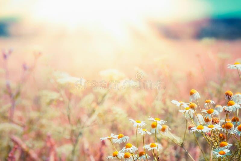 Późne lato kraju krajobraz z stokrotki łąką i sunbeam, Piękny lato plenerowy zdjęcia royalty free