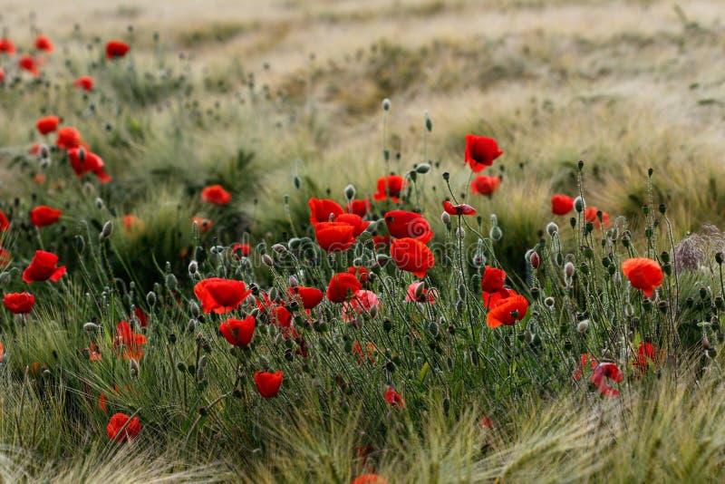 Późnego lata pole z makowymi papaver kwiatami zdjęcie stock
