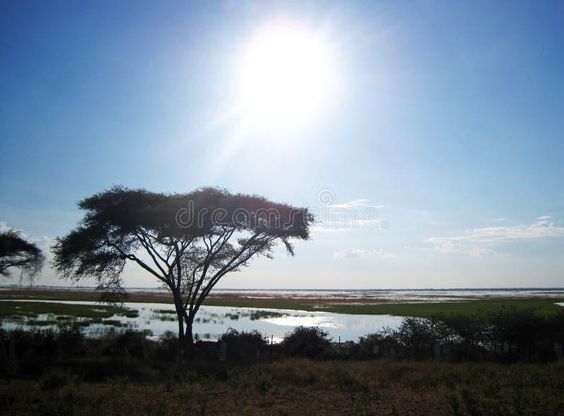 PÓŹNEGO POPOŁUDNIA słońce I PARASOLOWY drzewo NAD SZEROKĄ CHOBE rzeką zdjęcie royalty free