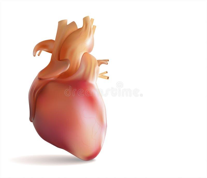 Pó humano i s da mostra do coração uma imagem 3D ilustração royalty free