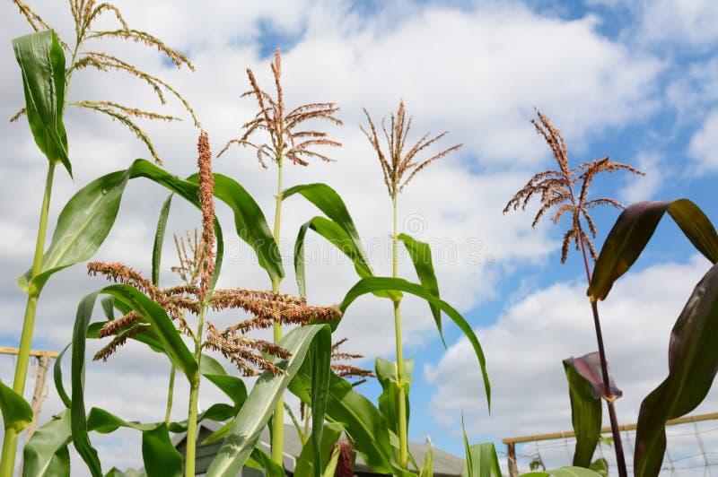Pólen em uma borla do sweetcorn com as plantas de milho mais altas além imagens de stock royalty free