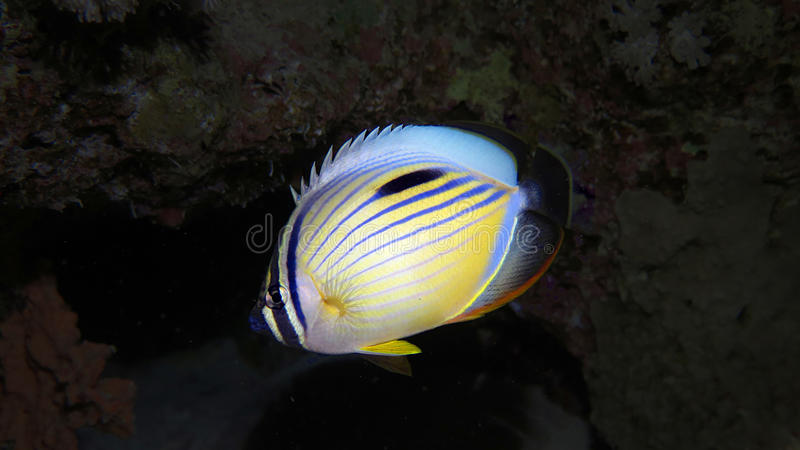Pólipo Buttlerflyfish fotos de archivo libres de regalías