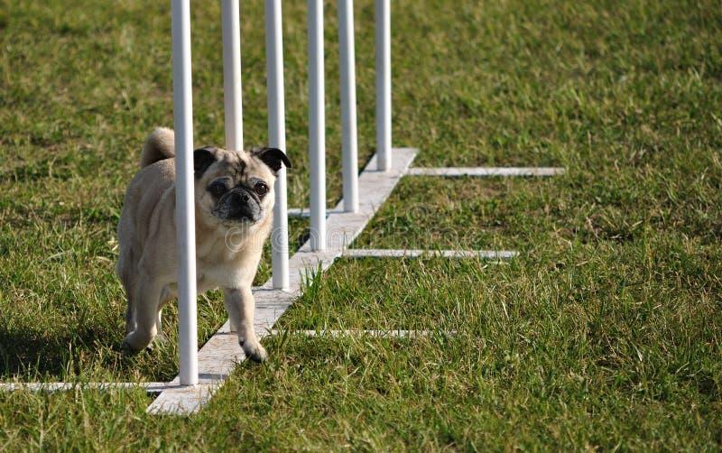 Pólos do Pug e do weave na experimentação da agilidade do cão foto de stock