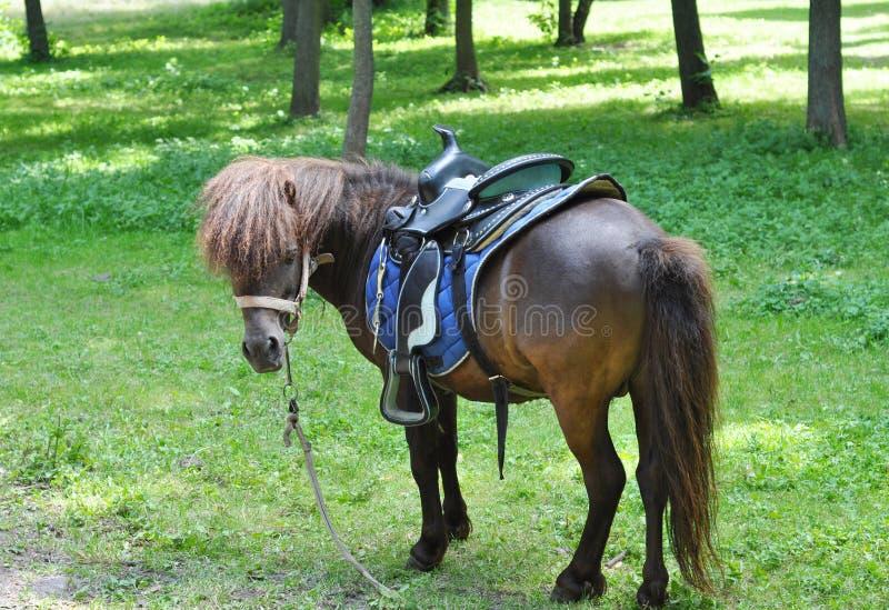 Pônei bonito com rebanho engraçado Passeios do pônei Cavalo do pônei no pasto da exploração agrícola em um dia ensolarado imagem de stock