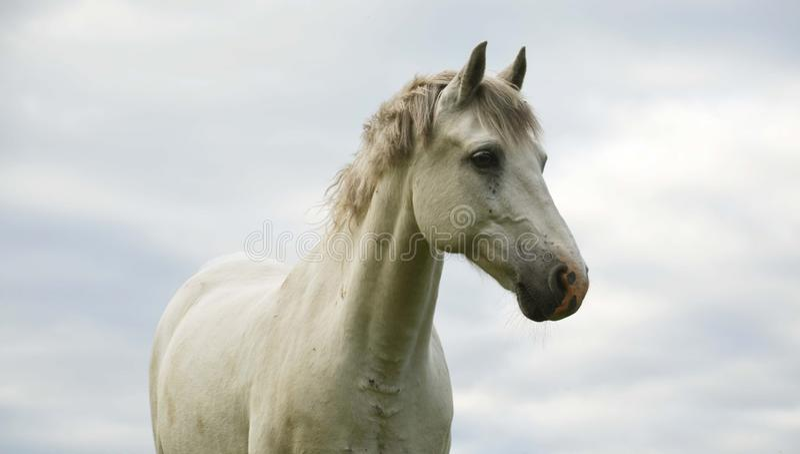 Pônei branco do connemara foto de stock royalty free