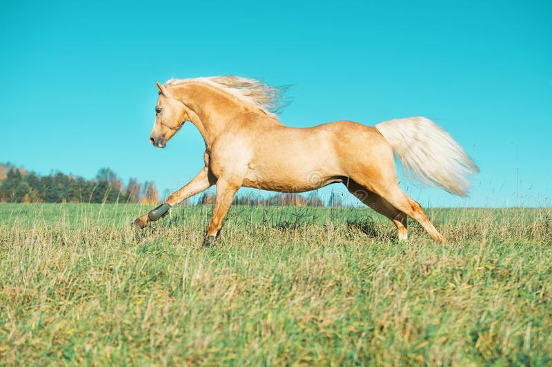 Pônei de galês de corrida do palomino com a juba longa que levanta na liberdade fotos de stock