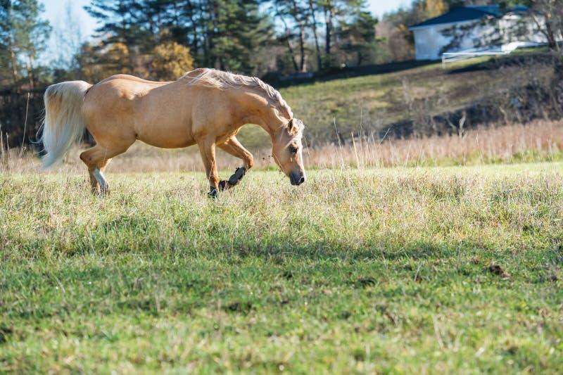 Pônei de galês de corrida do palomino com a juba longa que levanta na liberdade fotografia de stock royalty free