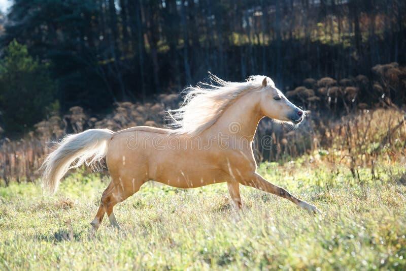 Pônei de galês de corrida do palomino com a juba longa que levanta na liberdade fotografia de stock