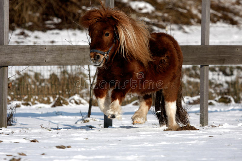 Pônei de Shetland fotografia de stock royalty free