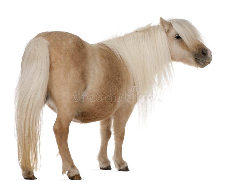 Pônei de Shetland do Palomino, caballus do Equus, 3 anos velho imagens de stock royalty free