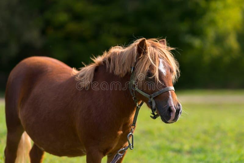 Pônei ou cavalo da castanha que vestem uma cabeçada fotos de stock