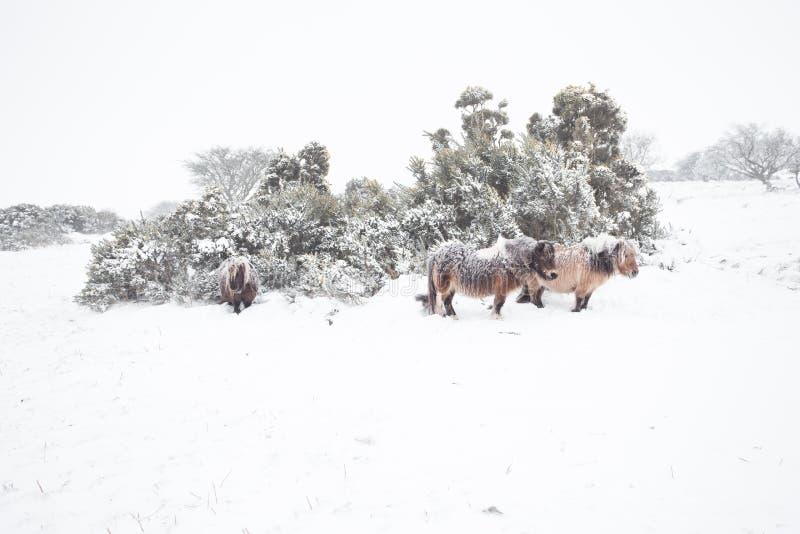 Pôneis de Dartmoor no dartmoor da neve imagens de stock