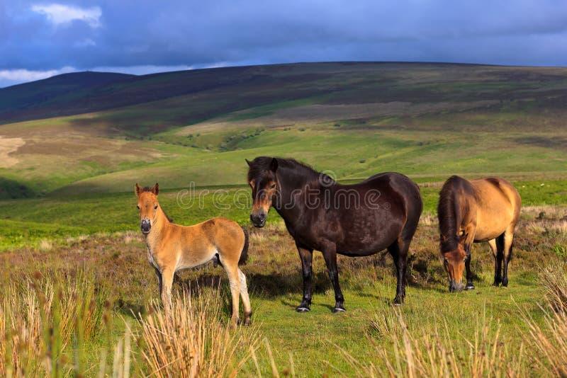 Pôneis de Exmoor fotos de stock royalty free