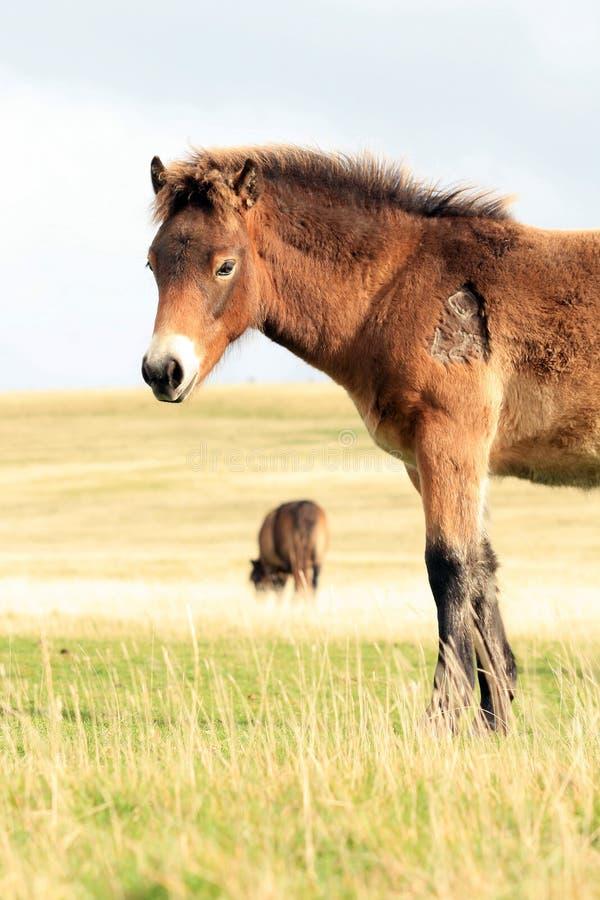 Pôneis selvagens de Exmoor imagens de stock