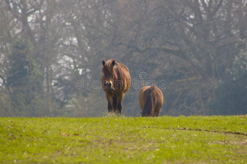 Pôneis selvagens de Exmoor da vida em Inglaterra sul imagens de stock royalty free