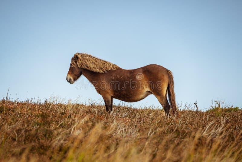 Pôneis selvagens de Exmoor, Somerset, Inglaterra fotografia de stock royalty free