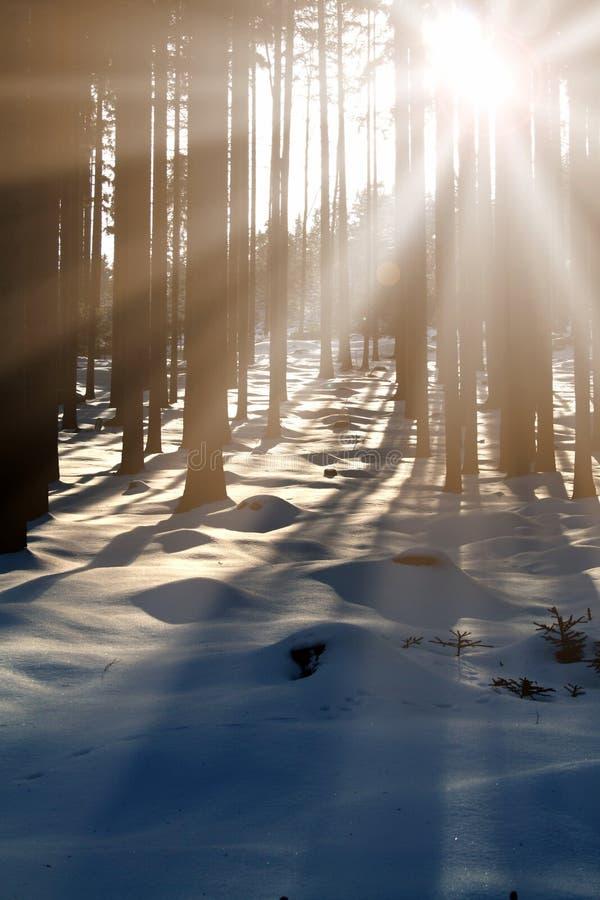 Pôr do sol na madeira entre as cepas no inverno fotografia de stock