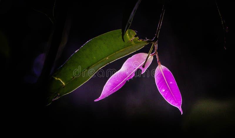 púrpura foto de archivo libre de regalías