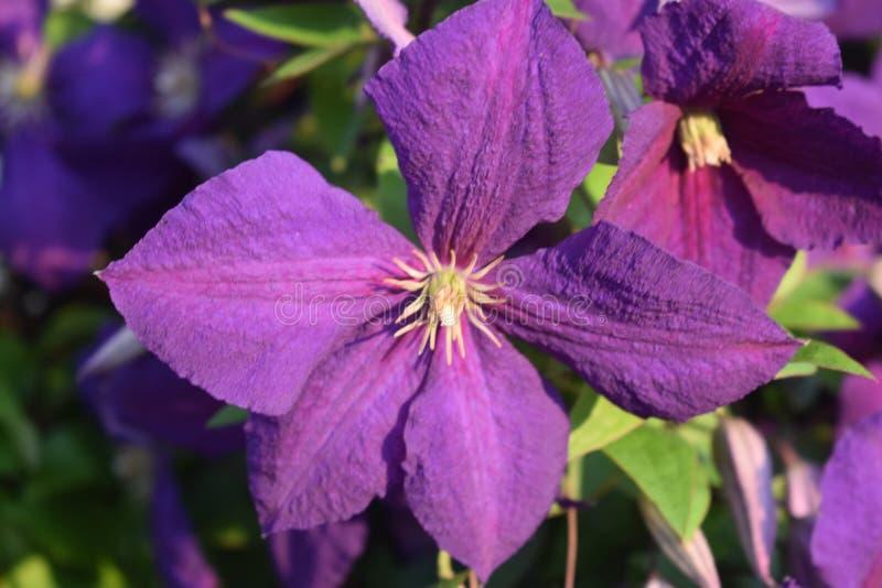 púrpura fotos de archivo libres de regalías