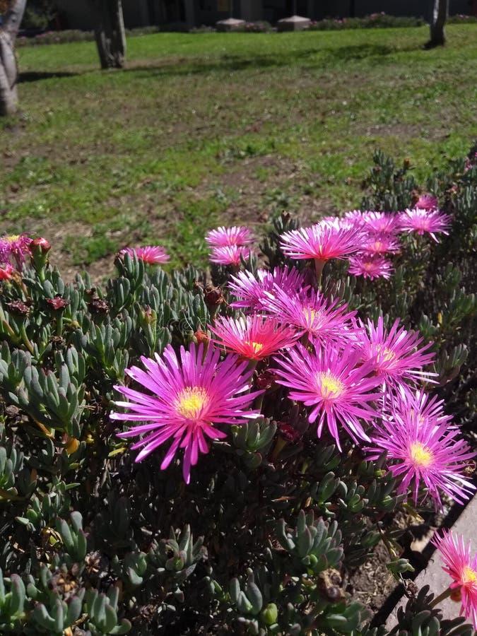 Púrpura con la flor amarilla fotos de archivo