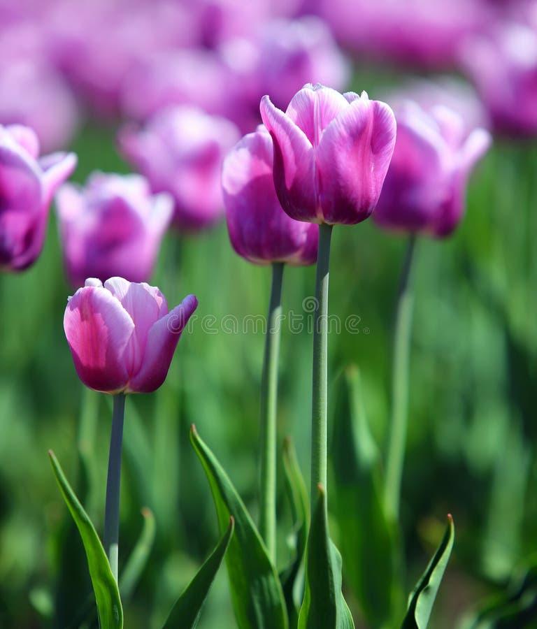 Púrpura con los tulipanes blancos de la frontera fotos de archivo libres de regalías