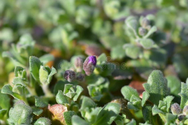 Púrpura de la cascada de Aubrieta fotos de archivo libres de regalías