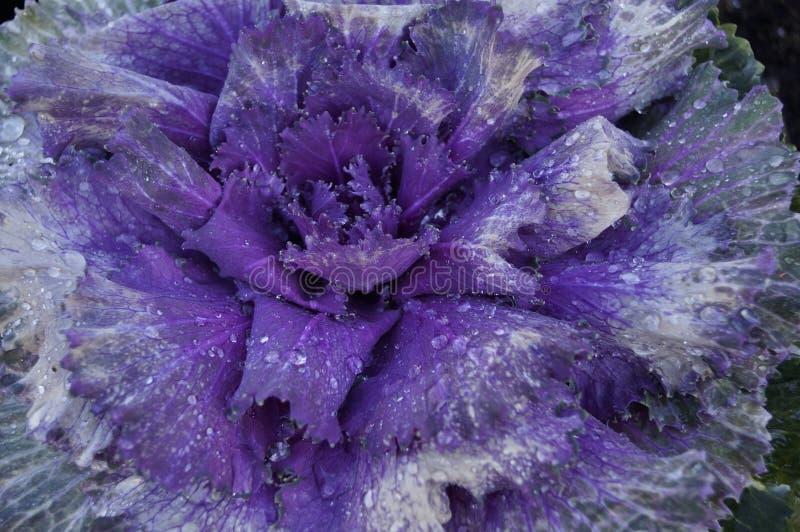 Púrpura de la col fotografía de archivo libre de regalías