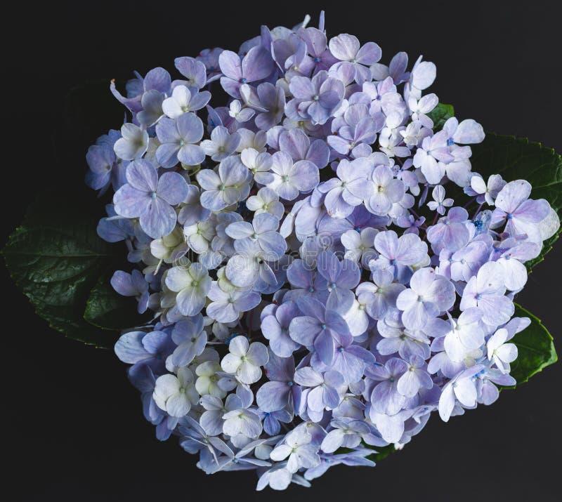 Púrpura de la flor de la hortensia en fondo negro imagen de archivo