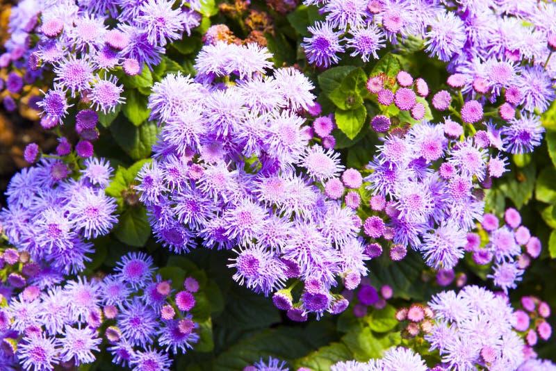 Púrpura del Ageratum imagen de archivo