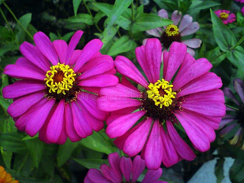 Púrpura del doble de la flor del Zinnia fotografía de archivo