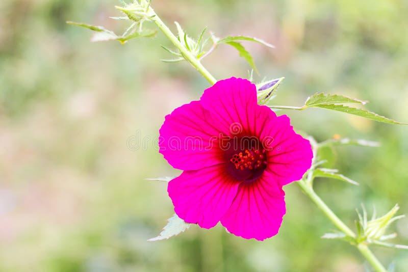 Púrpura del hibisco del arándano foto de archivo libre de regalías