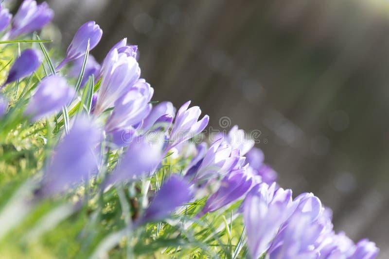 Púrpura del ` s, él es pequeño, que él el ` s huele Wonderfull ¡La primavera está viniendo! foto de archivo libre de regalías