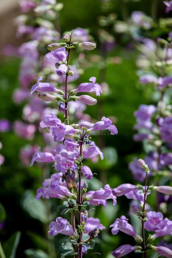 Púrpura máxima de los lucios (mexicali del Penstemon) fotos de archivo