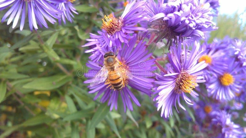Púrpura para las abejas foto de archivo libre de regalías