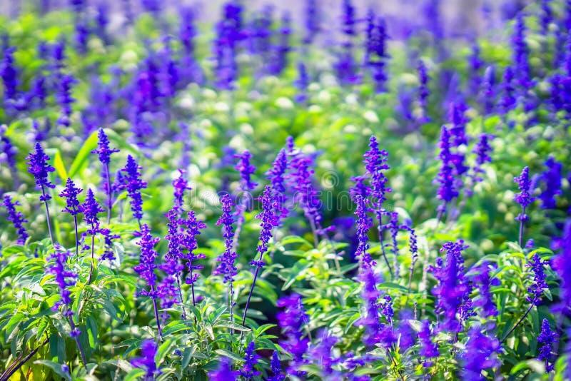 Púrpura pintoresca, púrpura brillante lavanda-como las flores en un macizo de flores de la calle, día de verano, fondo botánico,  fotografía de archivo libre de regalías