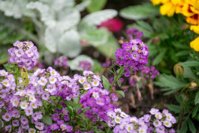 Púrpura y blanco de las flores del Alyssum dulce en un jardín con el otro fondo foto de archivo libre de regalías